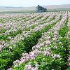 Field of flowering potato plants